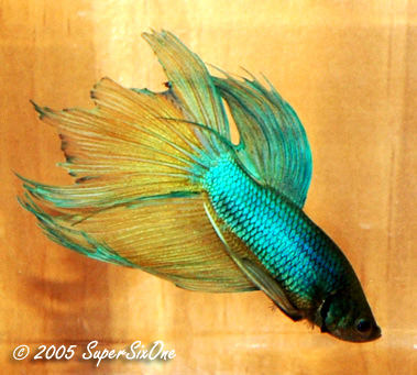 Blue dragon scale betta