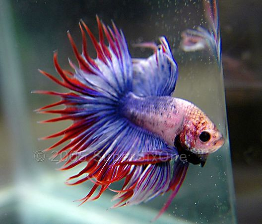 My siamese fighter fish page 2 betta splendens for Petco tropical fish